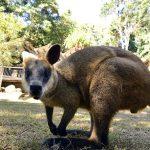 ケアンズ 日帰り観光 Kuranda Koala Gardens(アクティビティ・観光プチ情報)