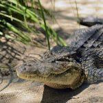 ケアンズ 日帰り観光 Hartley's Crocodile Adventures(観光・アクティビティ プチ情報)